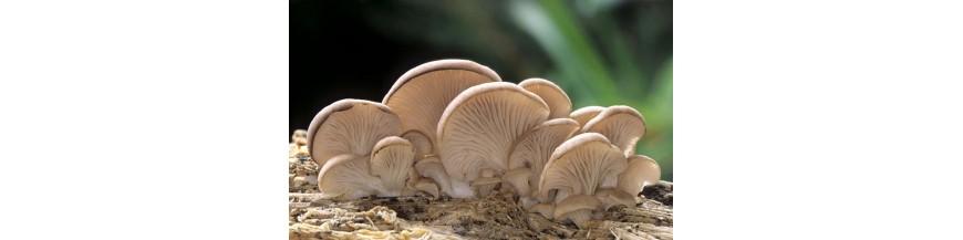 Ciuperci terapeutice - Suplimente naturale
